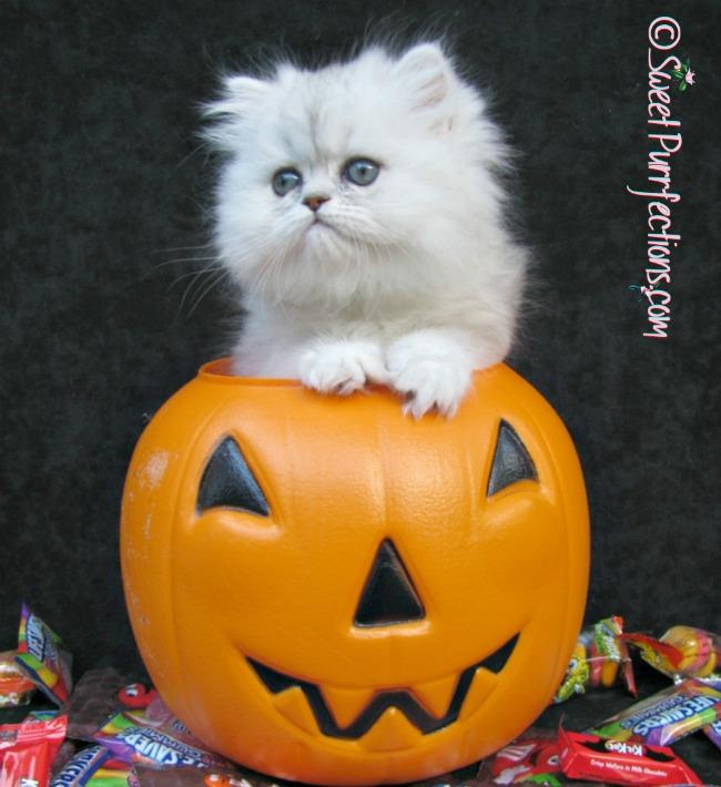 Persian Kitten, Brulee, inside a plastic jack-o-lantern