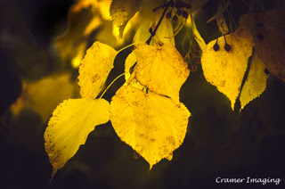 Cramer Imaging's professional quality nature photograph of yellow little leaf linden leaves on tree branch in Pocatello, Bannock, Idaho