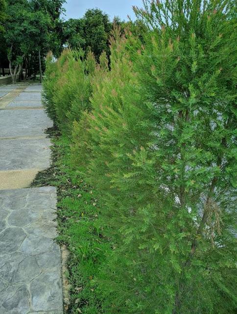 Hàng rào cây xanh bằng cây tùng hoàng kim