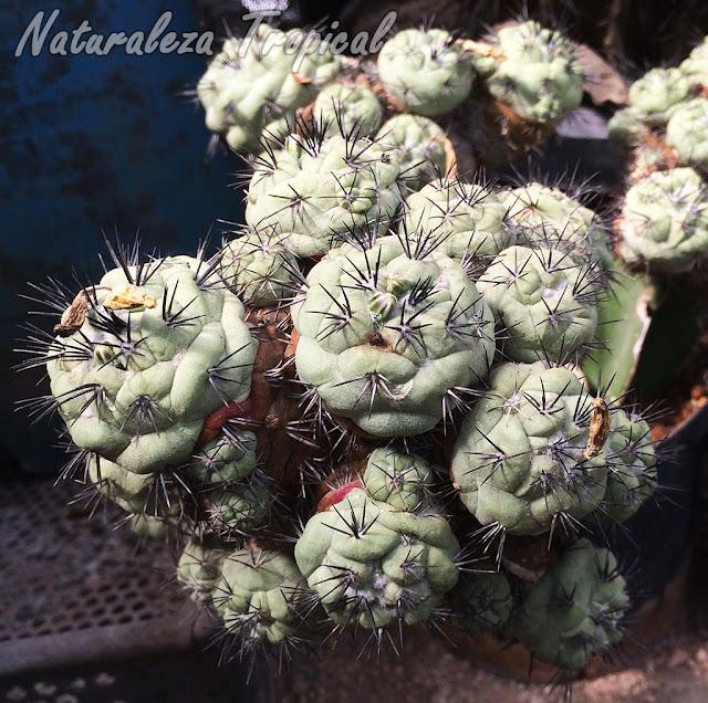 Otra imagen del cactus Ortegocactus macdougallii