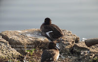 Female tufted ducks on the rocks by the Shinobazu pond, Ueno Park, Tokyo.© Denise Motard