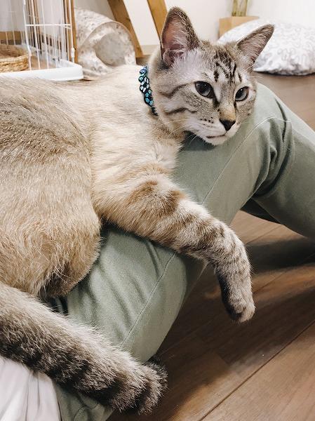 飼い主の脚の上に乗っかって寝そべっているシャムトラ猫