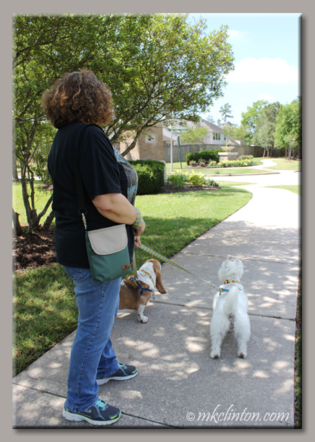 Woman walking Basset Hound and Westie