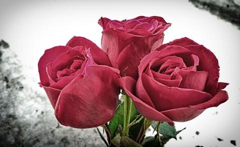 Red Rose Full HD Wallpaper Free Stock [ Download ]