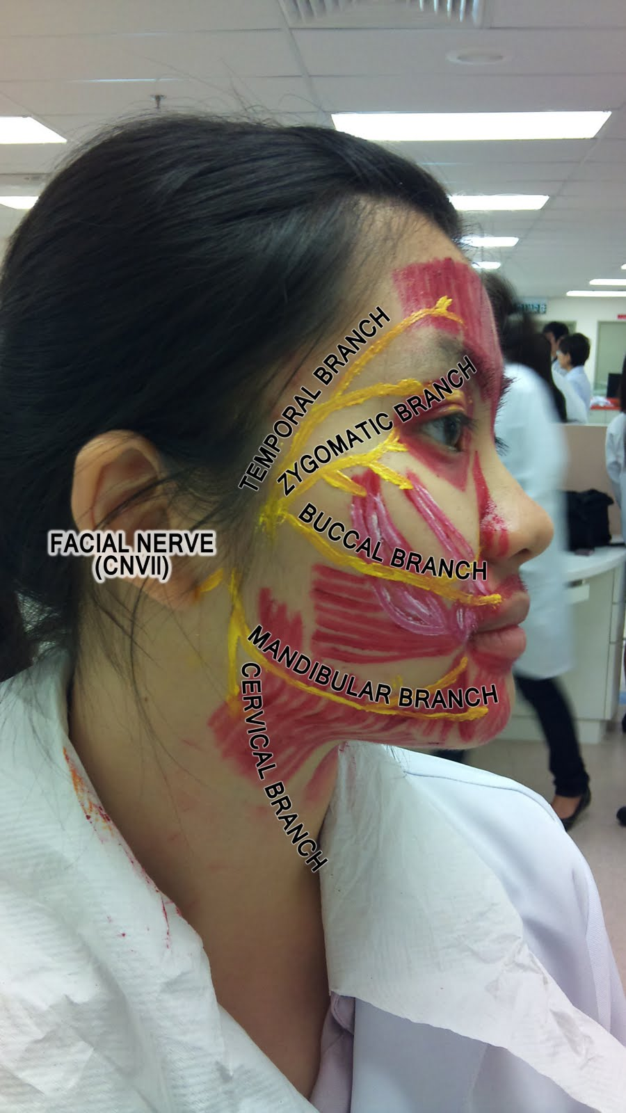 Facial Muscles And Nerves 63