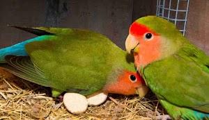 Harga Love Bird Sekarang Jatuh, Ini Penyebabnya