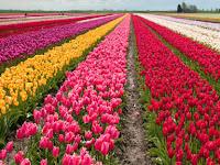 Usaha Menjajikan Menanam Bunga Tulip Yang Terbukti Menguntungkan