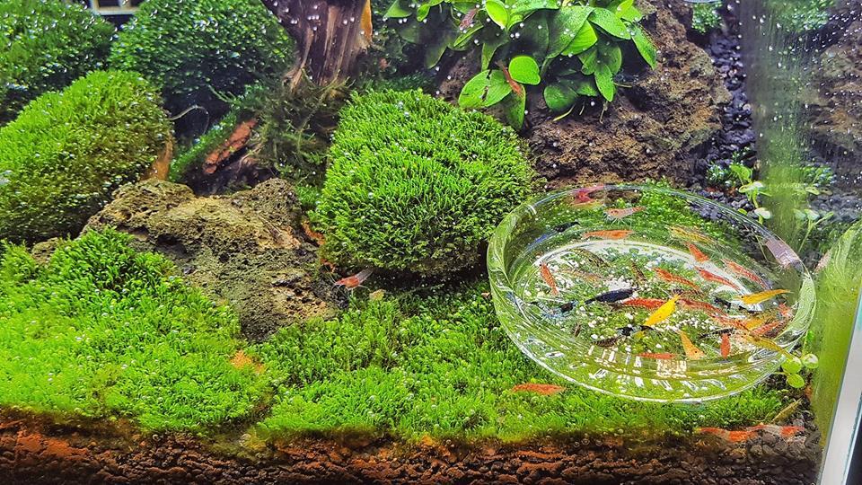 Rêu thủy sinh mini fiss trong hồ của bạn Huy Vaper