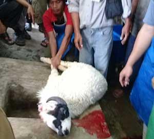 dppkp cirebon latih cara menyembelih hewan kurban
