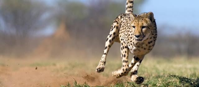 Leopardo y biologia