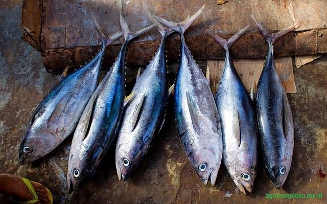 Cara budidaya ikan tuna