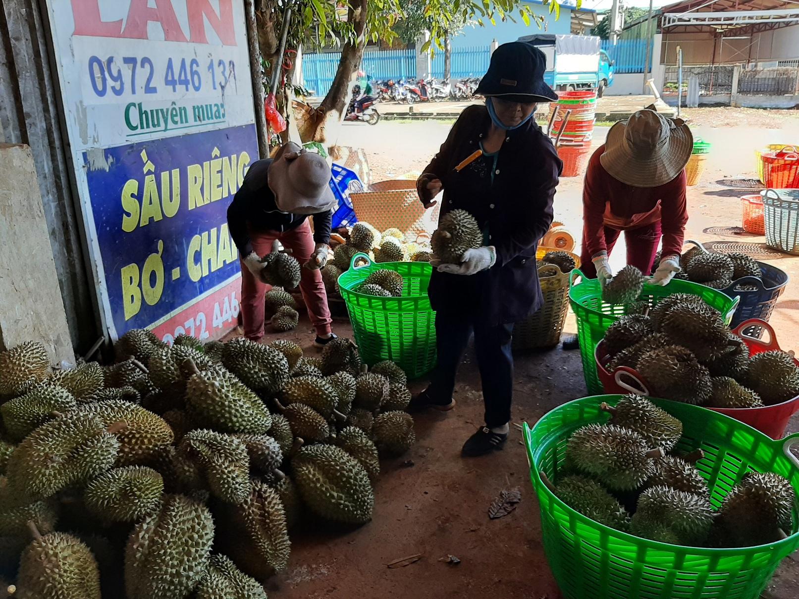 Nhiều người cho rằng sản lượng sầu riêng ở H.Krông Pắk năm nay tăng hơn năm trước. Ảnh: Trung Chuyên