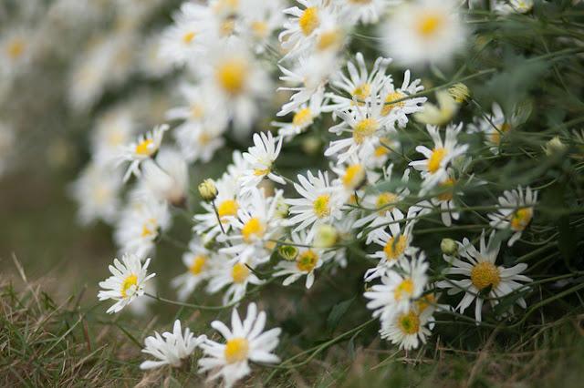 Hoa cuc hoa mi