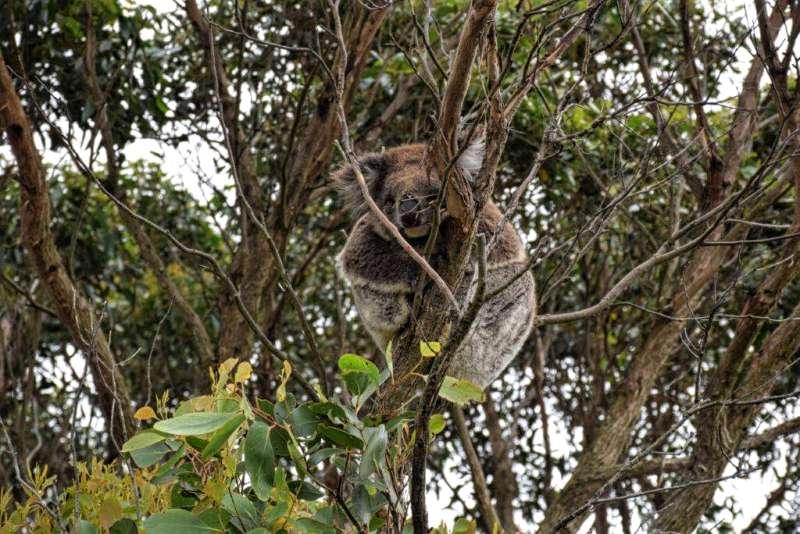 koala, Cape Otway