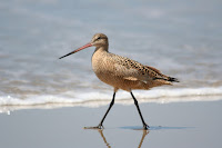 Marbled Godwit – Apr. 2007 – photo by Faucon