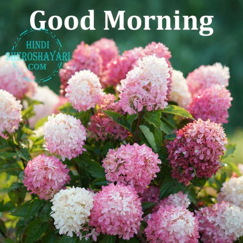 Good Morning Wishes with Hydrangea Flowers