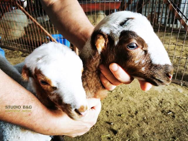 Αρνάκια χωρίς αυτιά γεννήθηκαν σε χωριό του Ναυπλίου (βίντεο)