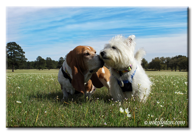 Basset Hound and Westie standing in flower field copyrighted mkclinton