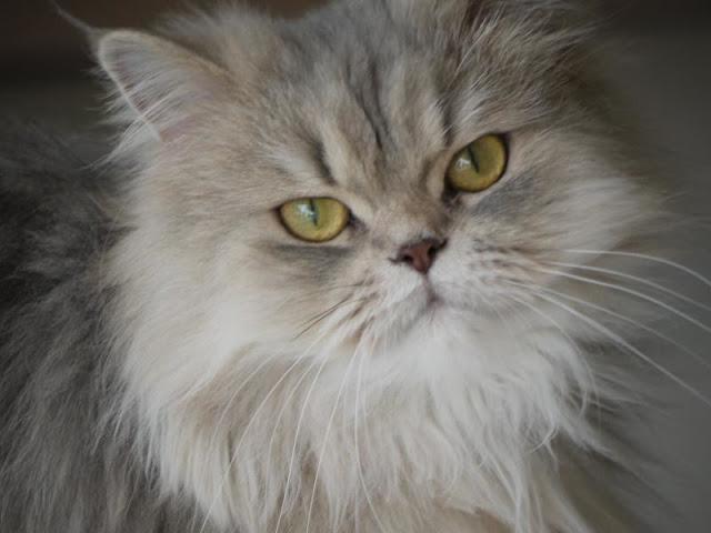 Friendliest-Cat-Breeds