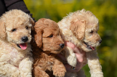F1 vs F1b labradoodle Temperament, Size, Lifespan, Adoption