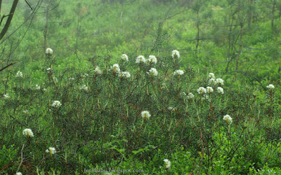 http://fotobabij.blogspot.com/2015/10/bagno-zwyczajne-rhododendron-tomentosum_1.html