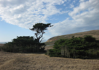 Wind-blown tree with dramatic clouds, Bodega Head, California