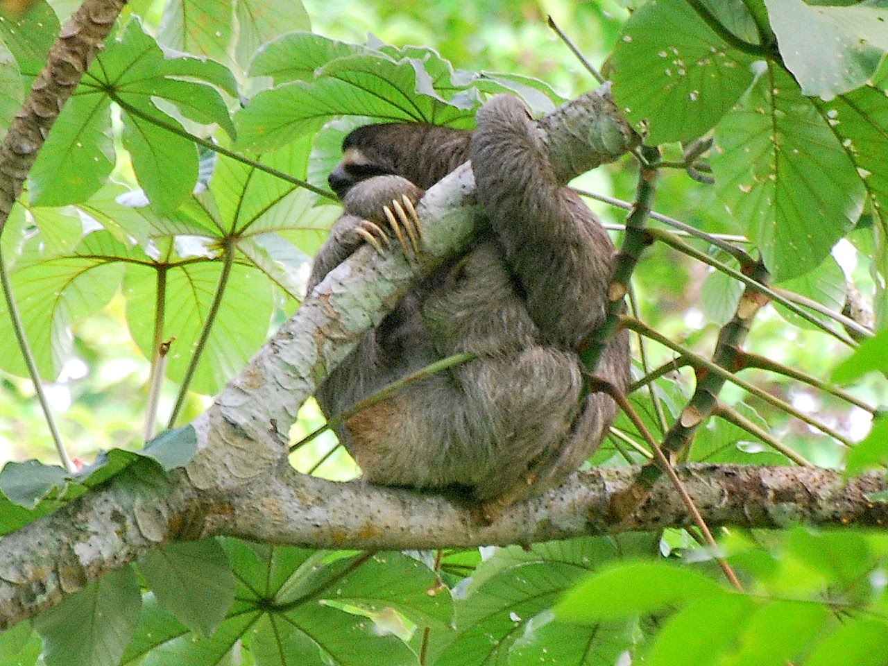 Lets Draw Endangered Species   Maned Threetoed Sloth