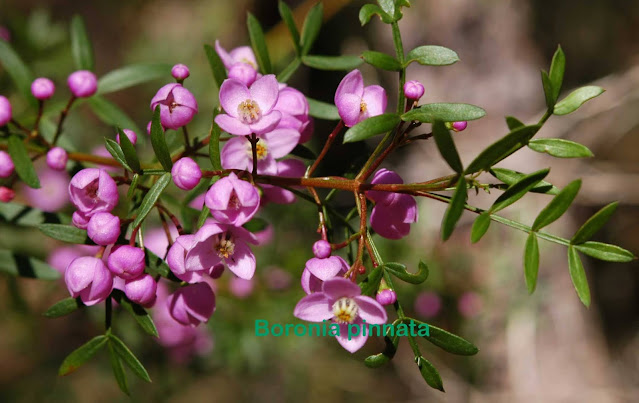 Boronia_pinnata2..jpg