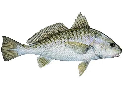 घोल, ढोम, Croaker fish name in Marathi
