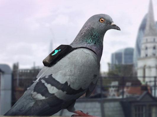 Posta Güvercini Nasıl Eğitilir ? Posta Güvercinleri Özellikleri Nelerdir ? >>>