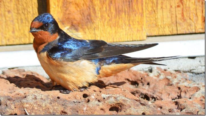 Adventures of Kitfoxgal and DesertDale: Barn Swallow At La ...
