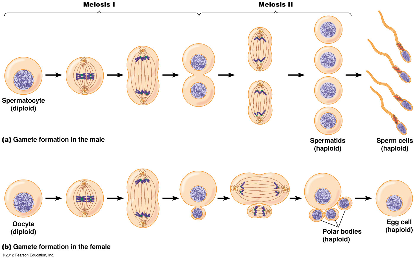 Meiosis 1 And 2 Diagram 1984 Toyota Truck Wiring Cal Poly Bio 502 Can You Hear Your Biological Clock Ticking