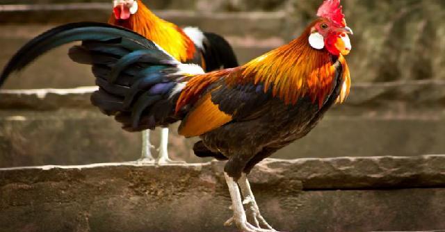 Ayam Jantang