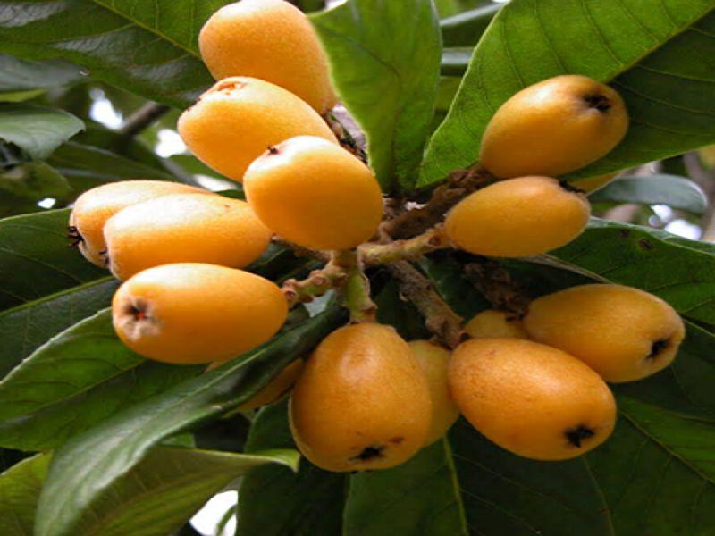 13 Benefícios da Fruta Nêspera à Saúde