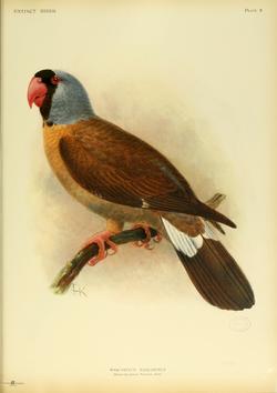 Papagayo de las Mascareñas: Mascarinus mascarinus