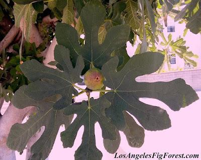 Dartmouth fig