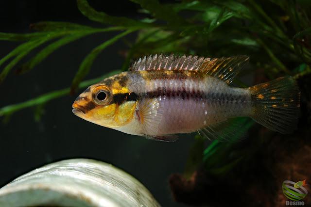 "Pelvicachromis subocellatus ""moanda"" spawning"