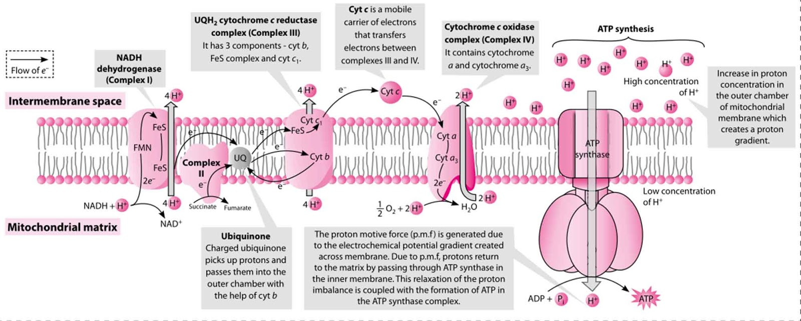 atp synthesis in mitochondria