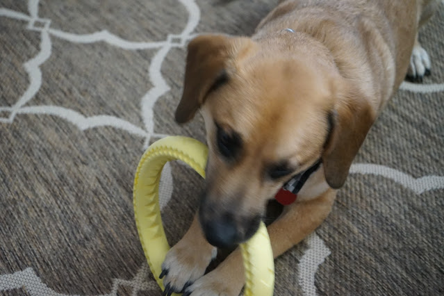 Pup playing with ring toy