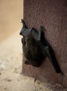 Imperiled bats: The manicure Step to save a species