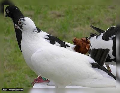 sawangan burung dara