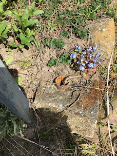 Zauneidechse Wechselwarm Vergissmeinnicht Blume