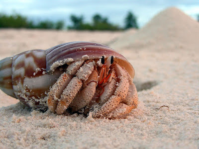 Will a hermit crab die without a shell?