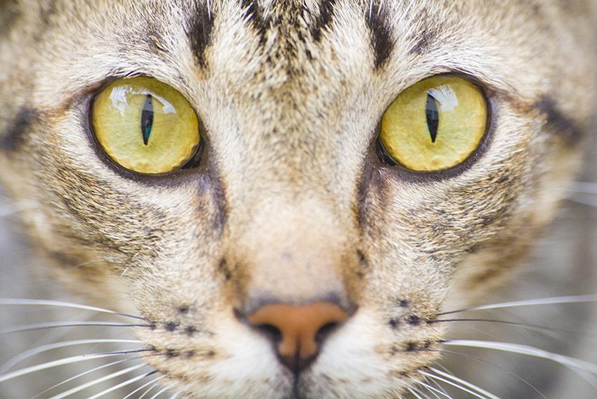 olhos gato rajado