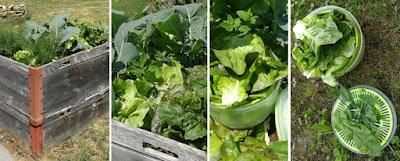 Salatanbau im Hochbeet; Salaternte im Garten; Wildkräuter und Kräuter im Garten