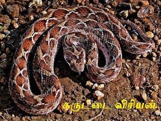 சுருட்டை விரியன் - Saw-scaled viper.