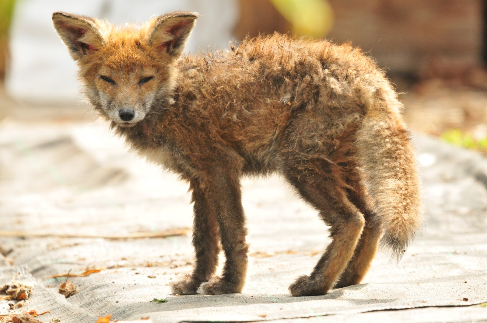 A_young_fox
