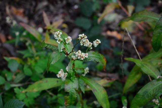 Persicaria maculosa