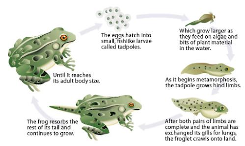 siklus hidup amfibi katak