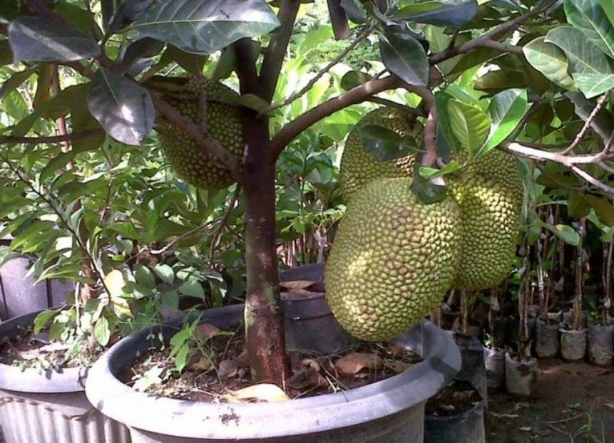 bibit buah nangka mini super duper genjah Sumatra Barat